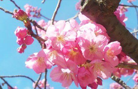 横浜スタジアムの桜